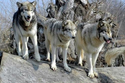8 მტაცებელი ცხოველის სახეობა, რომლებსაც ნათესაური კავშირი აქვთ სხვადასხვა ჯიშის ძაღლთან