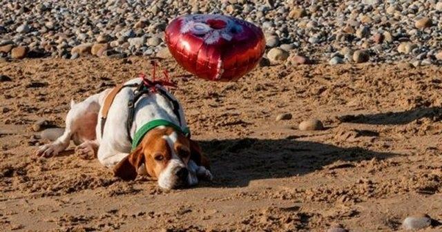 სევდიანი ძაღლის საიდუმლო, რომელიც სიყვარულის დღეს სანაპიროზე ბუშტით მარტო სეირნობდა