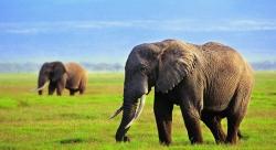 სპილოებს გონებაში ადგილის რუკის შექმნა შეუძლიათ, ამიტომ არასოდეს იკარგებიან