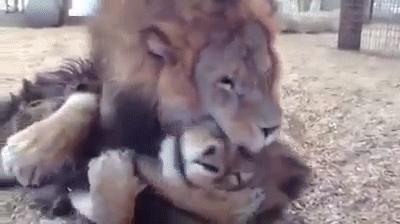 მრავალწლიანი მონობის შემდეგ, ცირკიდან ორი ლომი გაანთავისუფლეს (+ვიდეო)