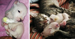 კატები ზრდიან სამთათა ლეკვს, რომელსაც დედა შეჭმას უპირებდა