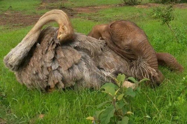 ობოლი სპილო ყოველდღე ეხუტება სირაქლემას... მან დედა დაკარგა, მაგრამ საუკეთესო მეგობარი იპოვა
