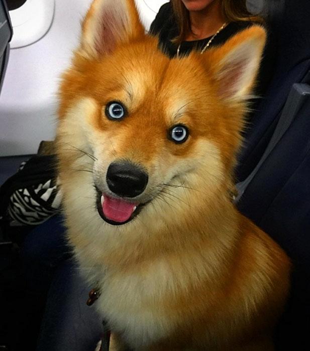ვინ გამოიცნობს - ეს საოცარი არსება მელიაა თუ ძაღლი? (+ფოტო)