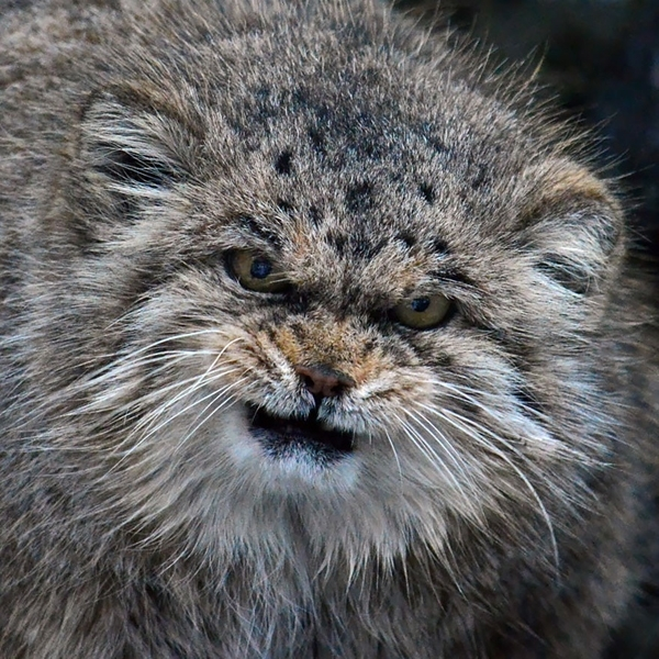 მანული-ყველაზე ემოციური ცხოველი დედამიწაზე