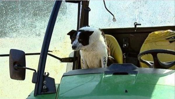 ტრაქტორს ძაღლი მართავდა, რამაც გზაზე მოძრაობა შეაფერხა