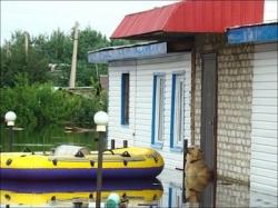 კავკასიური ნაგაზი წყალდიდობის დროს სახლს არ ტოვებდა
