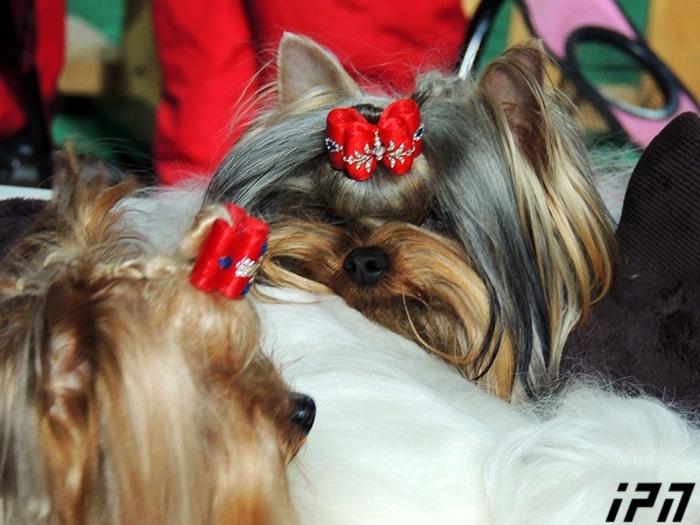 ჯიშიანი ძაღლების გამოფენა თბილისში (+ფოტო)