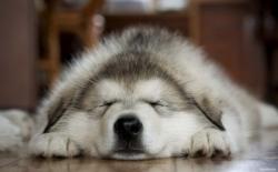 სპეციალისტებმა აღმოაჩინეს, რომ ძაღლები სიზმარში თავიანთ პატრონებს ხედავენ