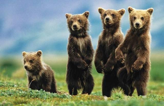 """დათვებმა მანქანა """"გაიტაცეს"""" და ავარიაში მოყვნენ"""