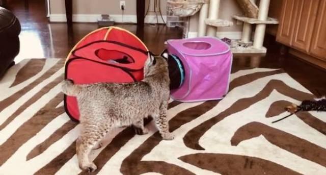 """დიასახლისმა ქუჩიდან უცნაური კატა აიყვანა: """"ფუფმულა, ბოროტი და კუდის გარეშე"""""""