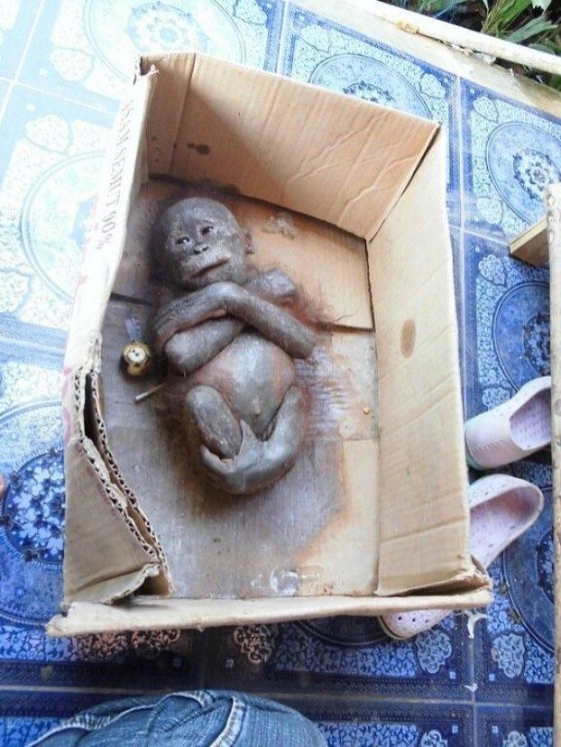 ორანგუტანგის შვილი მუყაოს კოლოფში დაიღუპებოდა.. საბედნიეროდ, ახლა მის სიცოცხლეს არაფერი ემუქრება (+ვიდეო)