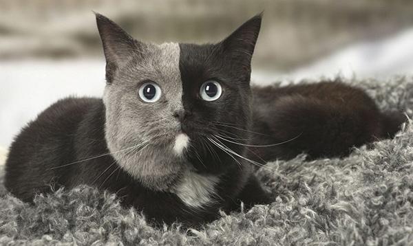 """სოციალური ქსელის ახალი ვარსკვლავი """"კატა-ქიმერა"""" უჩვეულო შეფერილობით"""
