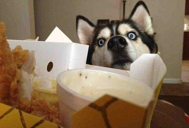 შინაური ცხოველების რეაქცია საკვების დანახვისას (სახალისო ფოტოები)