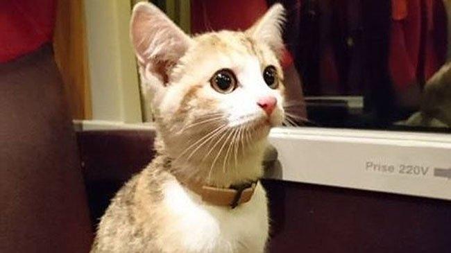 დაკარგული კატა პატრონთან მატარებლით მარტო დაბრუნდა