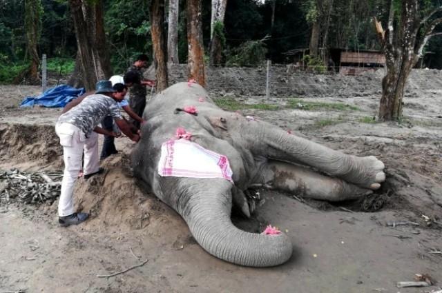 """ინდოეთში ცნობილი სპილო, სახელად """"ბინ ლადენი"""" მოკვდა"""