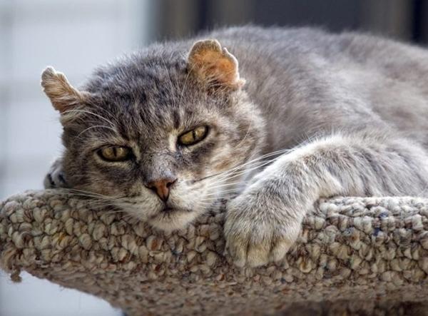 როგორ მოვუაროთ ასაკოვან კატას?
