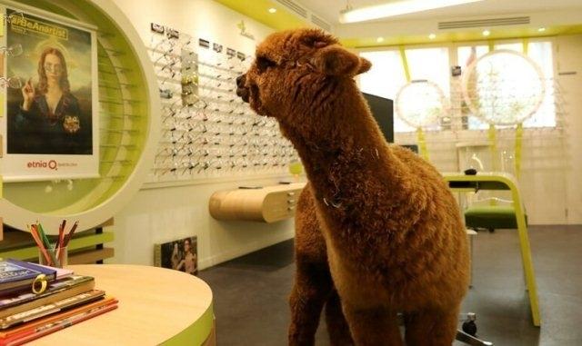 საფრანგეთში ალპაკა ოპტიკის მაღაზიაში მარტო შევიდა და ნახევარი საათი სათვალეს არჩევდა