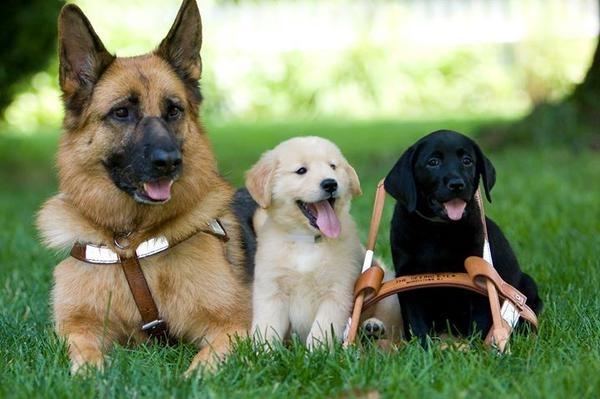 10 ყველაზე ერთგული ძაღლის ჯიში