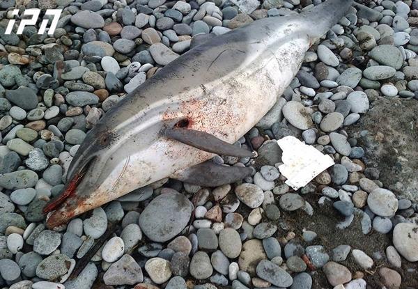 გონიოში ზღვამ ახალშობილი დელფინი გამორიყა