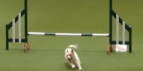 ძაღლი, რომელიც შეჯიბრზე სასაცილოდ იქცევა-  Youtube- ზე ამ ვიდეოს 7 მილიონზე მეტი ნახვა აქვს