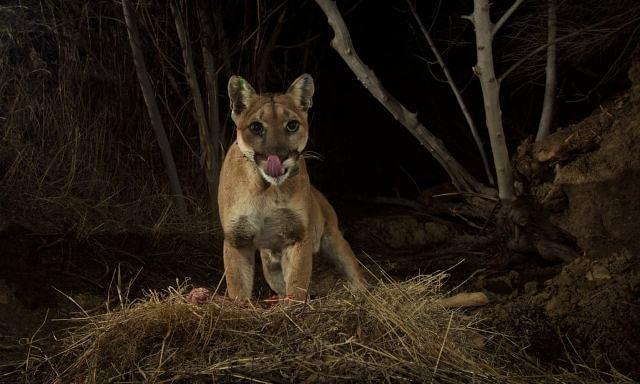 ქალი შიშველი ხელებით მთის ლომს თავს დაესხა, რათა საყვარელი ძაღლი გადაერჩინა