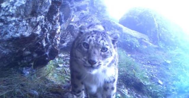 იშვიათი ცხოველის სახეობა - თოვლის ჯიქი ანუ ირბისი, ჰიმალაის მთებში, ფარულმა კამერამ დააფიქსირა (+ვიდეო)