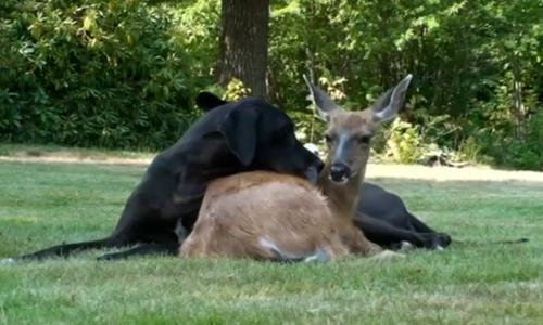 ობოლი შვლის ნუკრი და მისი საუკეთესო მეგობარი (+ვიდეო)