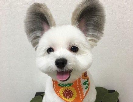 ძაღლი, სახელად გომა, საოცარი ყურებით, ადამიანების აღფრთოვანებას იწვევს (+ფოტო)