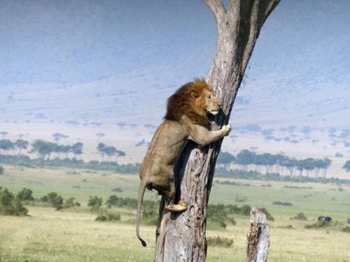 კამეჩის ჯოგისგან შეშინებული ლომი ხეზე აფარებს თავს