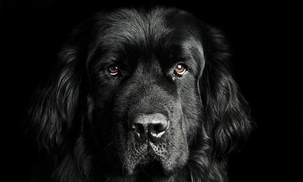 10 ყველაზე დიდი და მძიმე წონის ძაღლის ჯიში  მსოფლიოში