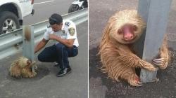 შეშინებული ზარმაცა პოლიციელმა სამანქანო გზაზე გადაარჩინა