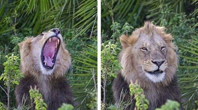 """ფოტოგრაფი ლომების გადასაღებად ნაკრძალს ესტუმრა: """"თავიდან თითქოს შემაშინა, თუმცა შემდეგ გამიღიმა"""""""