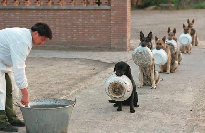 პოლიციელი ძაღლები საკვების რიგს, ბევრ ადამიანთან შედარებით, უფრო მოწესრიგებულებად იკავებენ