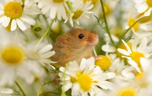 თაგვები, რომლებიც თავს შეგაყვარებენ (+ფოტო)