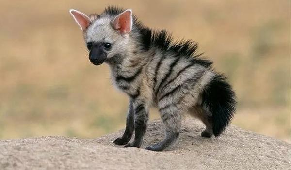 უსაყვარლესი მგლის სახეობა, რომლის შესახებაც ალბათ არაფერი გსმენიათ