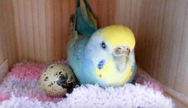 გოგონამ მწყრის კვერცხი იყიდა და ინტერესისთვის თავის თუთიყუშს გალიაში დაუდო...