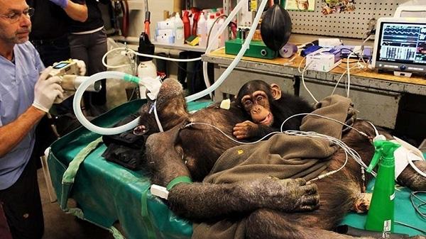 დედა შიმპანზეს ოპერაციას უკეთებენ. ნახეთ, რას აკეთებს მისი შვილი…