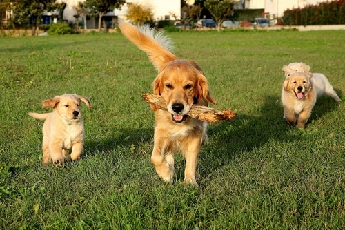 """ძაღლის 10 ჯიში, რომლებიც დიდი ხნის განმავლობაში """"ლეკვებად"""" რჩებიან"""