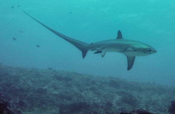 მეცნიერებმა პირველად გადაიღეს ზვიგენის მშობიარობა (+ვიდეო)