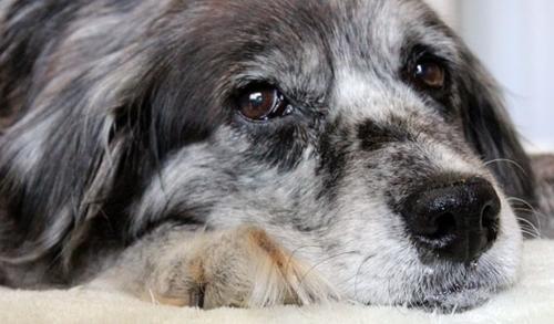8 რჩევა ხნიერი ძაღლის პატრონებს,  რაზეც თქვენი შინაური ცხოველი მადლიერი იქნება