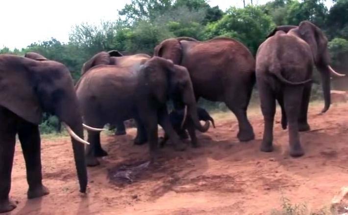 ის თავის გადამრჩენლებთან დაბრუნდა, რომ ემშობიარა.. მაგრამ არავის ეგონა, რომ სხვა სპილოები ასე მოიქცეოდნენ.. (+ვიდეო)