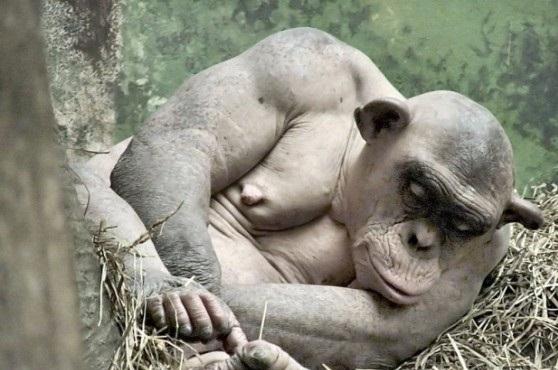 მელოტი შიმპანზე (+ვიდეო)