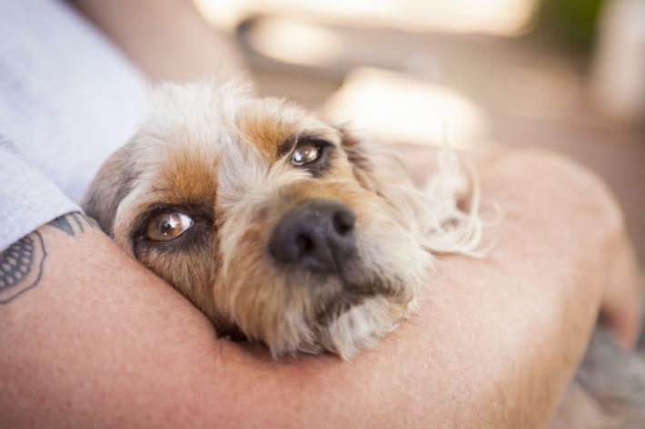 რამდენ ხანში ეჩვევა ძაღლი ახალ პატრონს