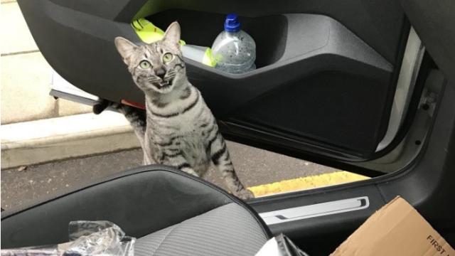 პატრონი თავის კატას სახლიდან რამდენიმე კილომეტრის დაშორებით შეხვდა... ცხოველის რეაქცია საოცარი იყო