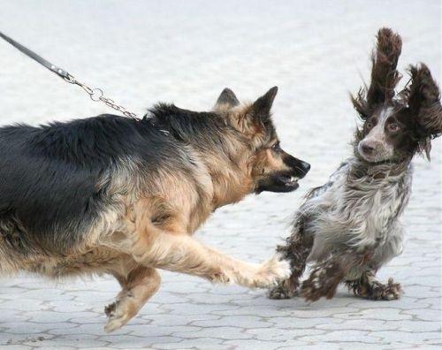 როგორ უნდა მოვიქცეთ,  თუ ჩვენი ძაღლი სხვა ძაღლების მიმართ აგრესიულია?
