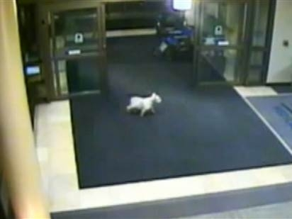 ძაღლი კლინიკაში შეიპარა, რათა პატრონი ენახა (+ვიდეო)