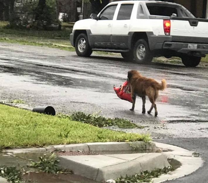 """ტეხასში ძაღლმა იმით გაითქვა სახელი, რომ ქარიშხალის დროს პაკეტით საკვები """"მოიმარაგა"""""""