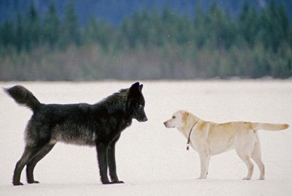 მის ძაღლს მგელი მიუახლოვდა, პატრონი ყველაზე საშინელს მოელოდა, თუმცა...