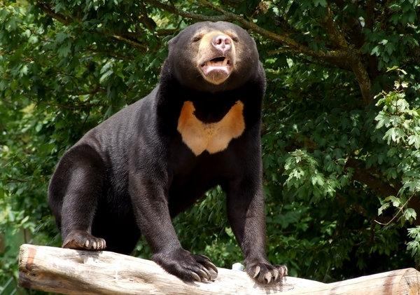 დედამიწის ბინადარი ყველაზე იშვიათი ცხოველები: მალიური ანუ მზის დათვი (ნაწილი II)
