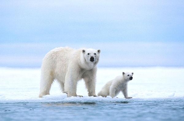 დღეს პოლარული დათვების საერთაშორისო დღეა